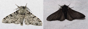 Black peppered moth - Biston betularia: light phenotype (left), dark phenotype (right)