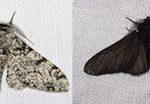 Black peppered moth - Biston betularia: light phenotype (left), dark phenotype (right)